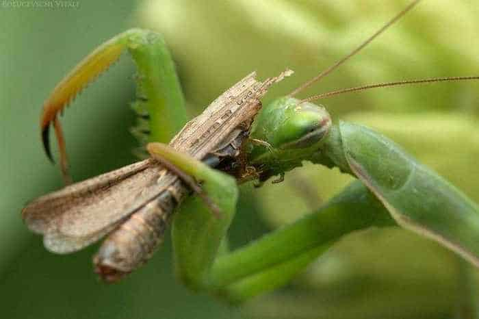 6 Awesome Pics of Mantis Breakfast Time -04
