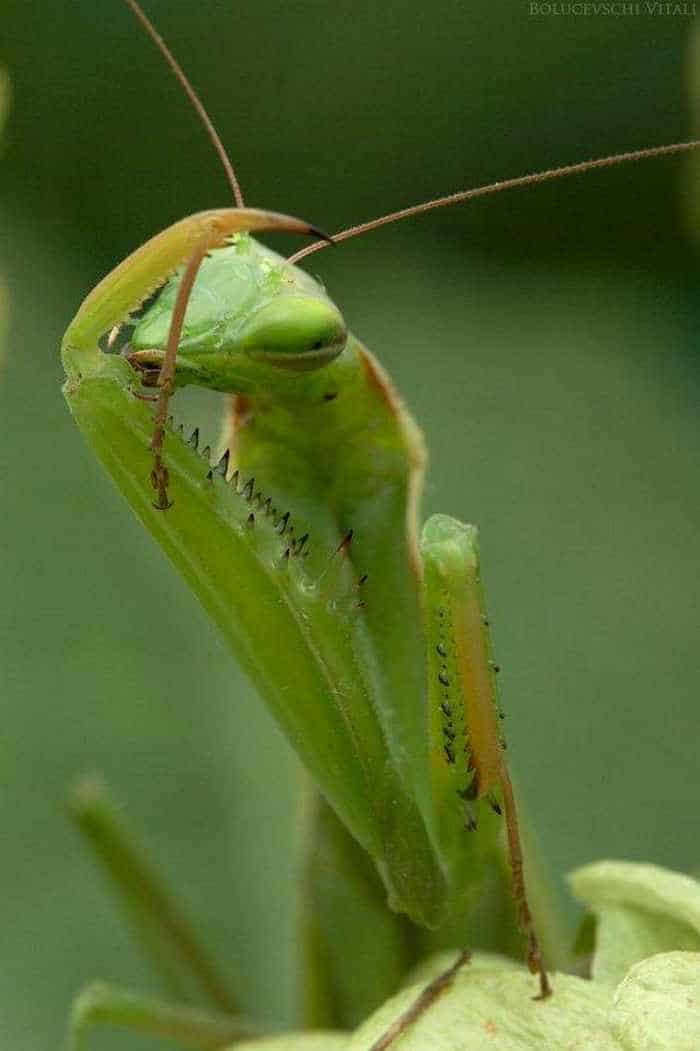 6 Awesome Pics of Mantis Breakfast Time -05