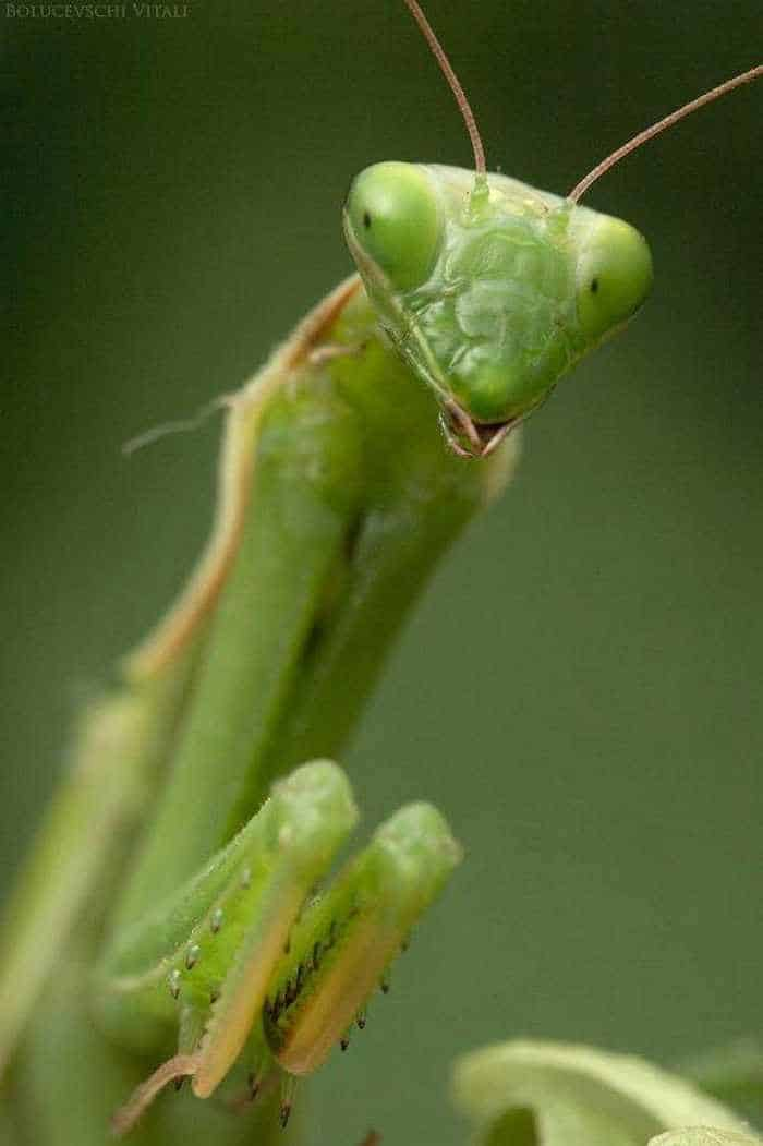 6 Awesome Pics of Mantis Breakfast Time -06