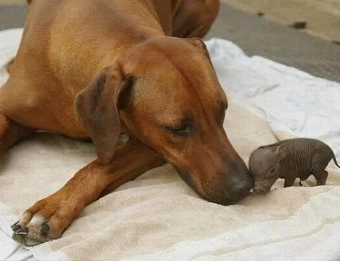 Weird Dog Mother For The Piglet - 4 Pics -01