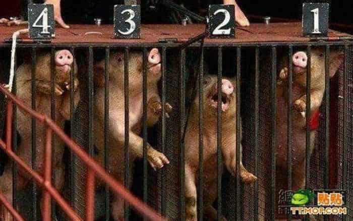 Meanwhile Funny Pig Racing In China - 7 Pics -01