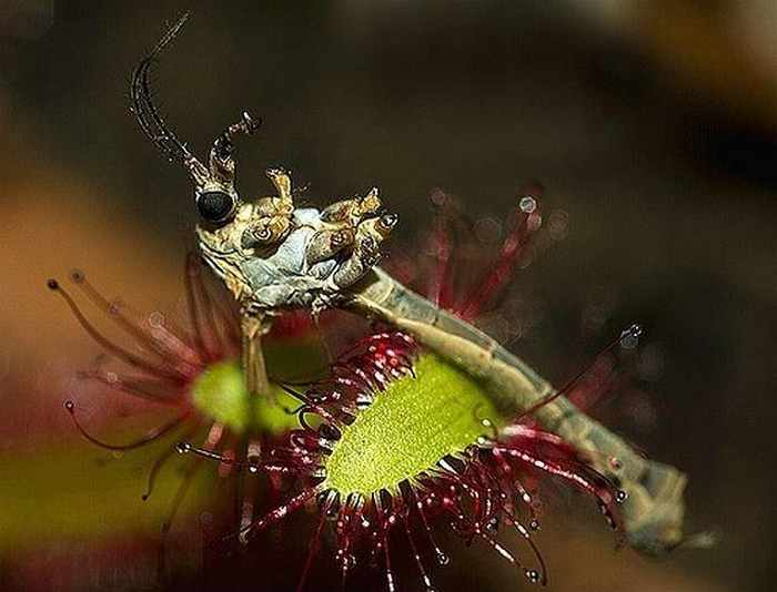 20 Awesome Predatory Flowers That Will Amaze You -13