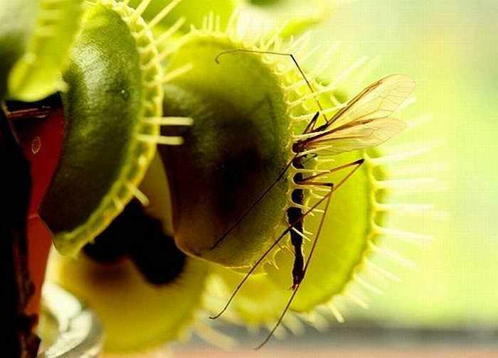 20 Awesome Predatory Flowers That Will Amaze You -15