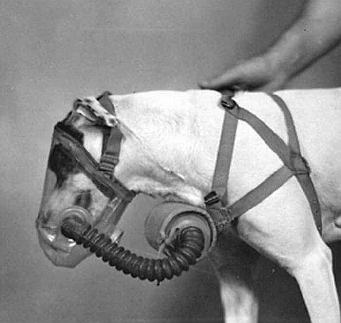 19 Funny Pictures of Respirator For Dogs -10