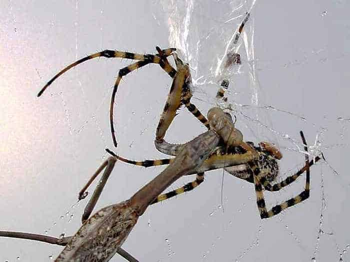This Spider VS Mantis Battle Will Blow Your Mind - 8 Pics -08