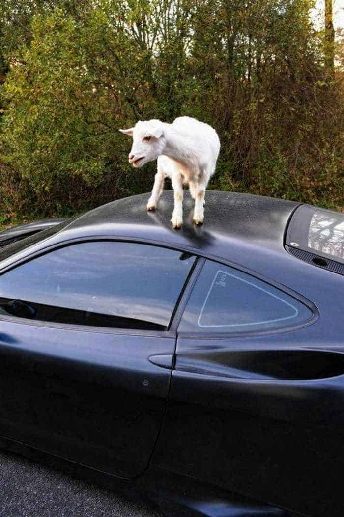 Funny Goat Playing on The Top of Ferrari Car_02
