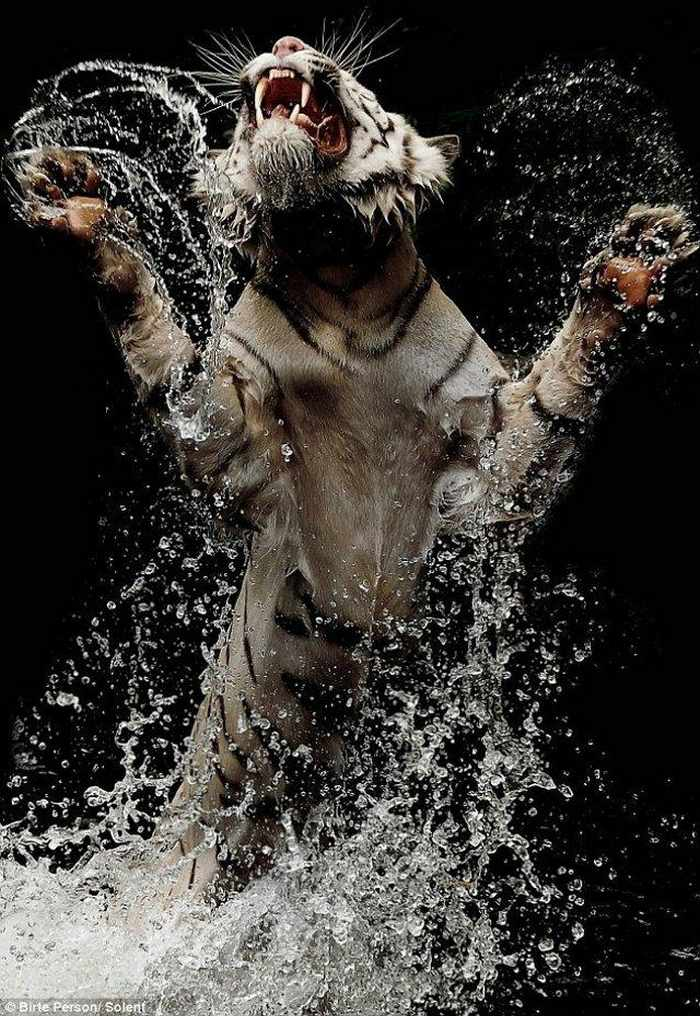 White Tiger Playing In Water - 5 Photos -03