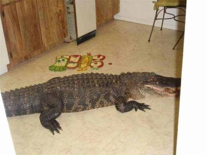 Scary Uninvited Guest Alligator in Home - 4 Pics -04