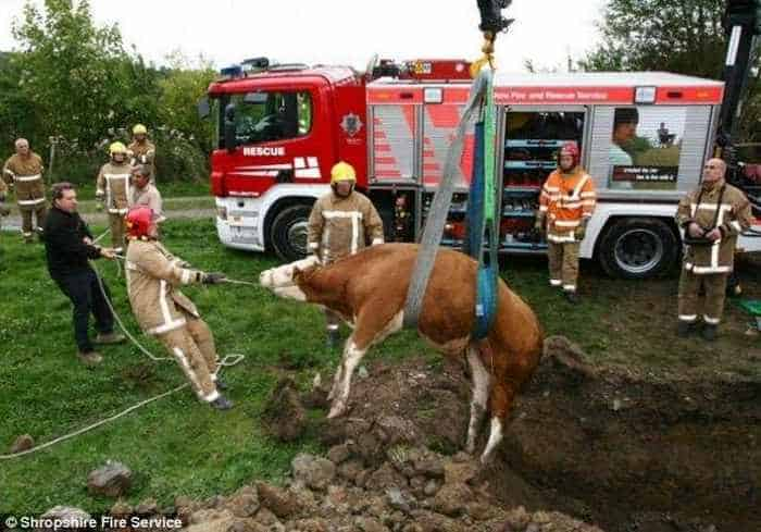 Funny Unlucky Cow of The Day - 4 Pics -04