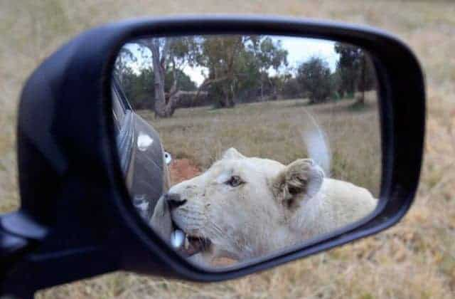 Lions Also Have Brain And Here is Proof