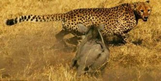 4 Pictures of Dangerous Wild Boar Vs Cheetah